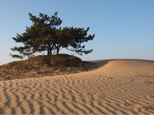zandduin met grove den en zandstructuren